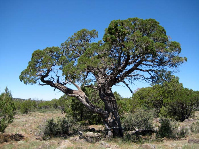 Alligator Juniper tree south of Apache Maid Mountain. This juniper gets its name from the tree bark, which resembles alligator skin.