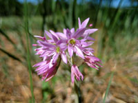 Picture of Allium bisceptrum Flowers (Twincrest Onion) near Flagstaff, Arizona