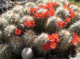 Picture of Arizona Hedgehog Cactus (Echinocereus Coccineus) flowers in spring