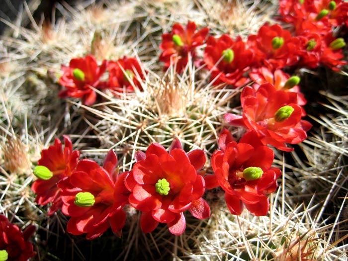 Arizona Hedgehog Cactus flowers in full bloom along the Agua Fria River