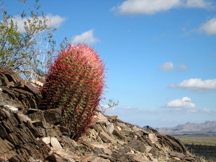 Barrel cactus among the foothills of Webb Mountain