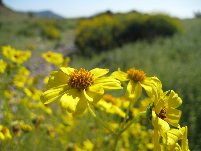 Brittlebush wildflowers, also known as Goldenhills, or Incienso