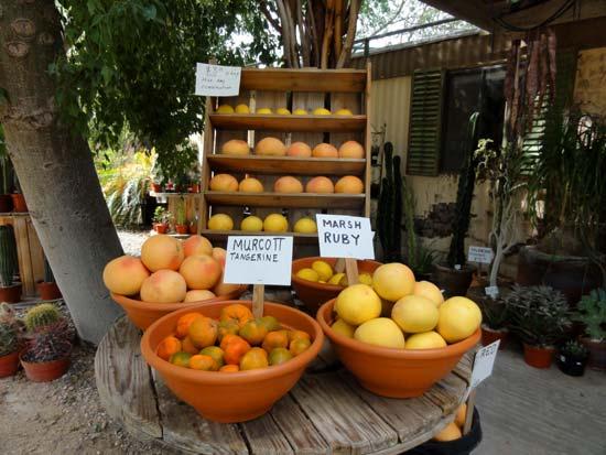Citrus Fruit in Borrego Springs