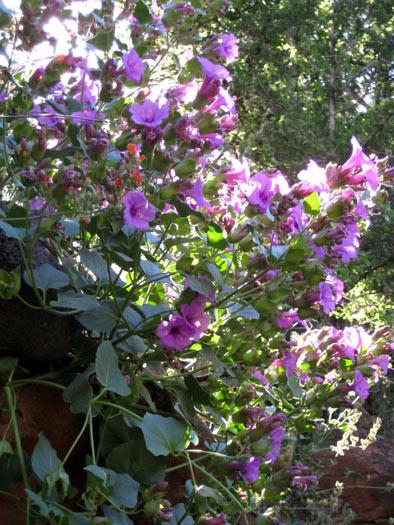 Colorado Four O' Clock (Mirabilis multiflora) Flowers along West Clear Creek Trail