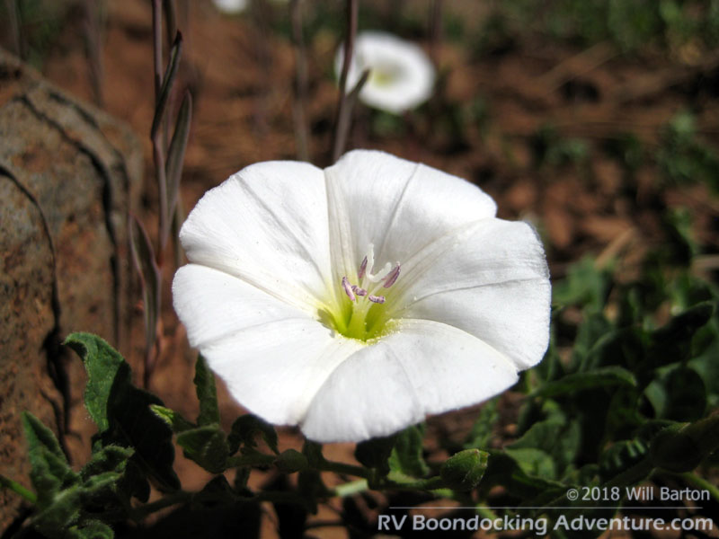 Field Bindweed flower at Coulter Park. Scientific name: Convolvulus arvensis