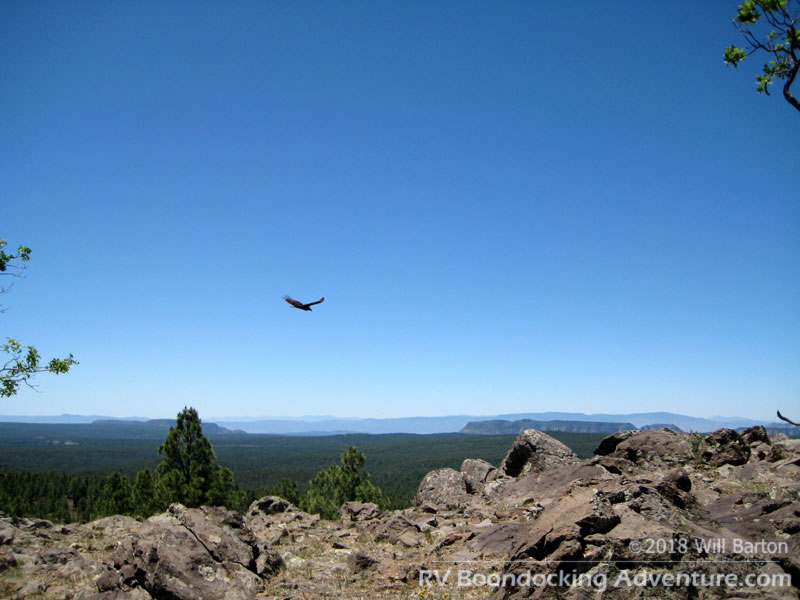 A turkey vulture soaring over Coulter Hill (7,712 feet in elevation, for the hill - the bird is slightly higher!)