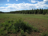 Picture of Coulter Park, Arizona and Its Forest Meadow near Flagstaff