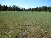 Picture of Coulter Park and The Forest Meadow South of Flagstaff, Arizona