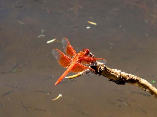 Bear Canyon Lake Dragonfly