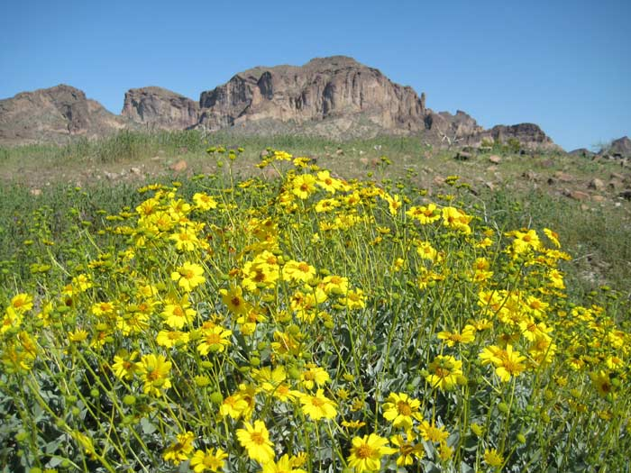 Encelia Farinosa (Brittlebush) wildflowers with Saddle Mountain in background