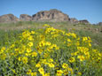 Saddle Mountain with Brittlebush wildflowers in foreground, Arizona