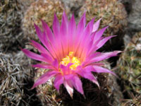 Picture of a Escobaria vivipara Cactus Flower (Ball Cactus) near Flagstaff, AZ