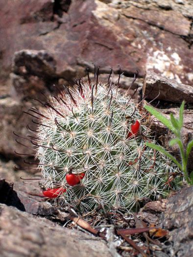 Fishhook Pincushion Cactus near Weldon Hill