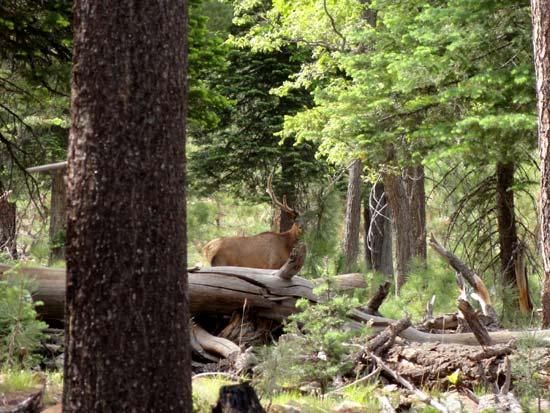 Mogollon Rim Elk