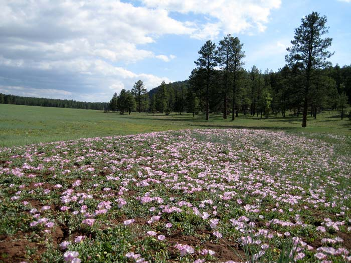 Wildflowers in a meadow east of Apache Maid Mountain in the Coconino National Forest