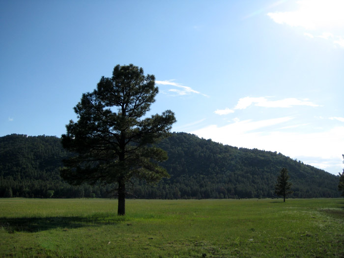 A pine meadow with Apache Maid Mountain in background