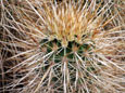 Picture of a Pinkflower Hedgehog Cactus in Arizona