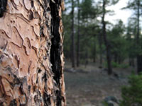 Picture of Ponderosa Pine Bark near Flagstaff, Arizona, Coconino National Forest