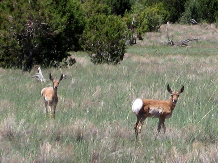 Found these Pronghorn Fawns south of Apache Maid Mountain. They were quite curious and approached me as I was mountain biking on a jeep trail to Wet Beaver Creek Wilderness. Other common names for the pronghorn are prong buck, pronghorn antelope, or simply antelope (though it isn't a true antelope).