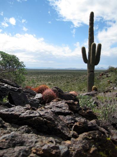 Saguaro Cactus on Weldon Hill