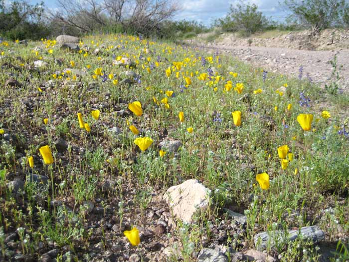 Sonoran Desert spring wildflowers next to a wash