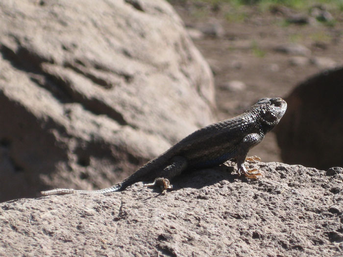 A Southwestern Fence Lizard basking in the sun next to my campsite east of Apache Maid Mountain
