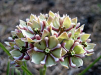 Picture of Spider Milkweed Flowers (Asclepias asperula) near Flagstaff, Arizona