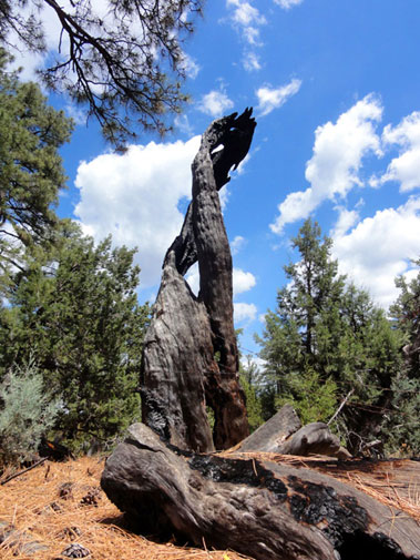 Spiral Tree in Tonto National Forest