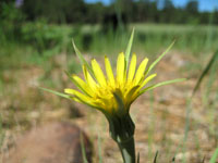 Picture of Tragopogon dubius Flower (Goats Beard Plant) near Flagstaff, Arizona