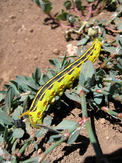 A White-Lined Sphinx Caterpillar south of Apache Maid Mountain