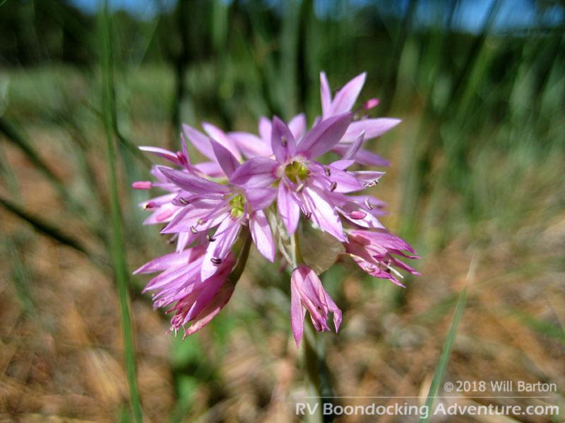 Twincrest Onion flowers, also known as Wild Onion. Scientific name: Allium bisceptrum
