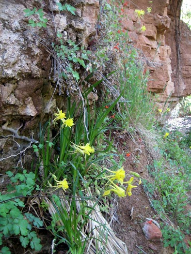 Golden Columbine (Aquilegia chrysantha) wildflowers along West Clear Creek Trail