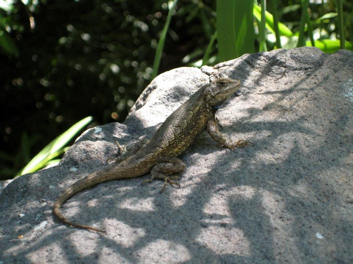 I believe this is a fence lizard. Found it next to Oak Creek near Pine Flat Campground.