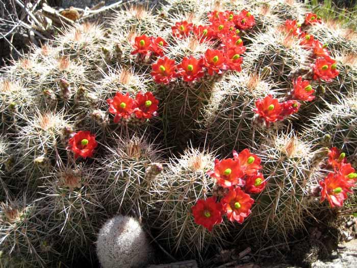 Arizona Hedgehog Cactus (Echinocereus Coccineus) flowers in spring