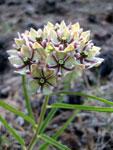 Picture of Asclepias asperula Flowers (Spider Milkweed) near Flagstaff, Arizona