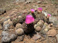 Picture of Ball Cactus near Flagstaff, Arizona