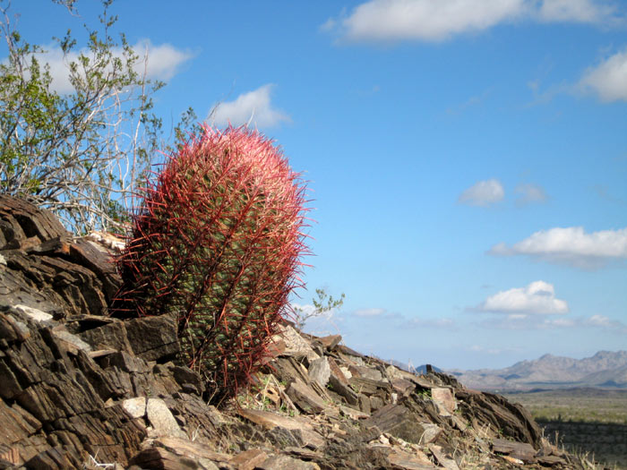 Barrel cactus among the foothills of Webb Mountain