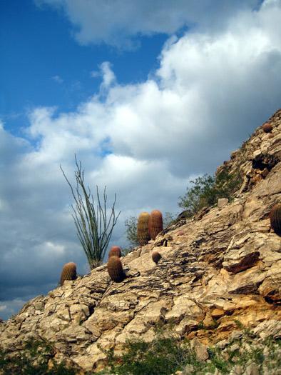 Barrel cactus and ocotillo on hillside