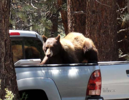 Black bear opening cooler