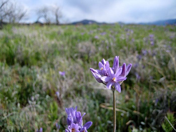 Blue Dicks (Dichelostemma capitatum) flowers among the grassland south of Bull Pen Road (FR 215)