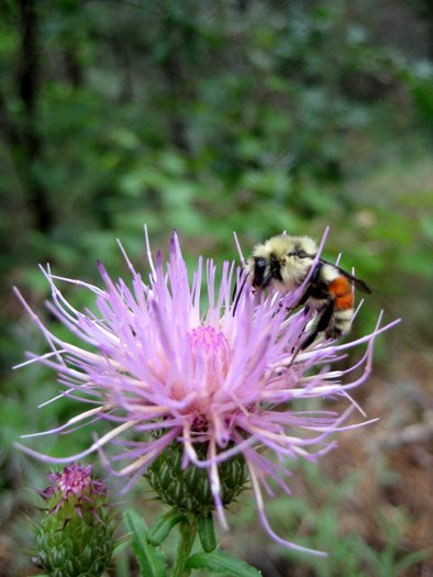 Found this bumble bee atop a bull thistle flower while hiking Harding Springs Trail up the side of Oak Creek Canyon. The trailhead is just south of the Pine Flat Campground.