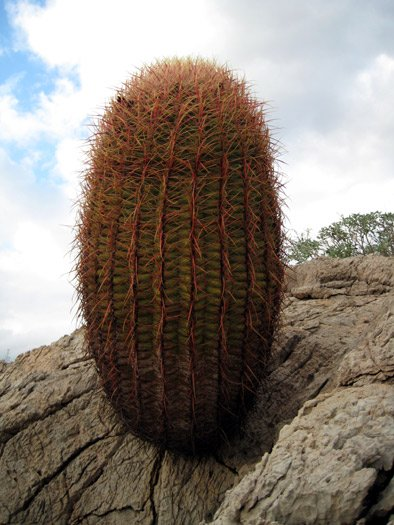 California Fire Barrel Cactus growing out of a crack in the rock