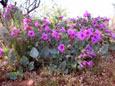 Picture of Colorado Four O' Clock Flowers (Mirabilis multiflora) in Arizona