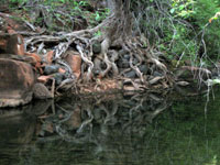 Picture of Crawling Tree Roots at Red Tank Draw Creek near Sedona, Arizona