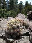 Picture of a Hedgehog Cactus at 7,000 Feet Near Flagstaff, Arizona