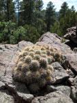 Picture of a Hedgehog Cactus at 7,000 Feet Near Flagstaff, Arizona