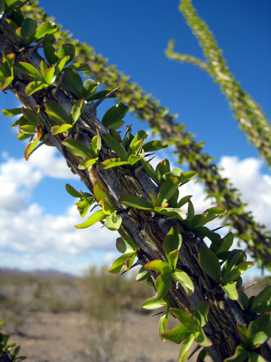 Ocotillo plant close-up