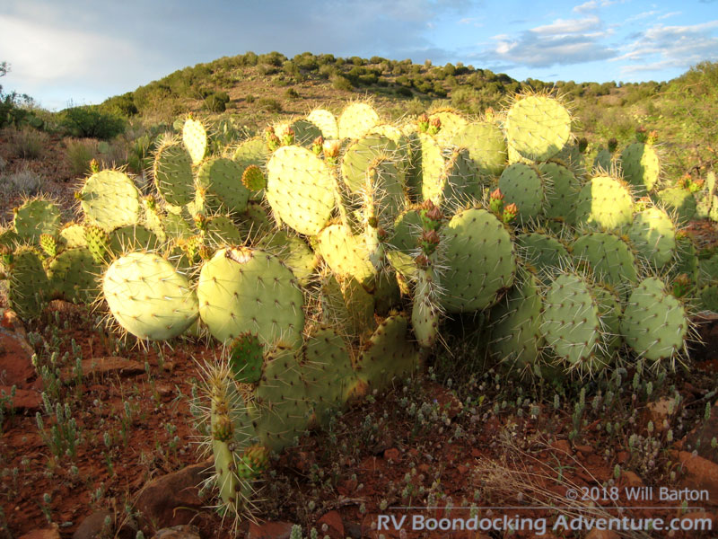 Prickly pear cactus in the evening sun near Red Tank Draw. Picture taken southwest of the intersection of FR-618 and FR-121.