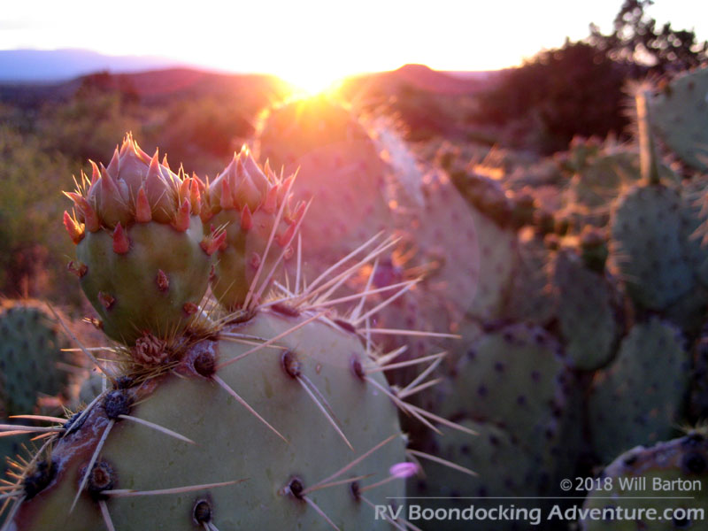 Prickly pear cactus with the setting sun. Picture taken near Red Tank Draw southwest of the intersection of FR-618 and FR-121.