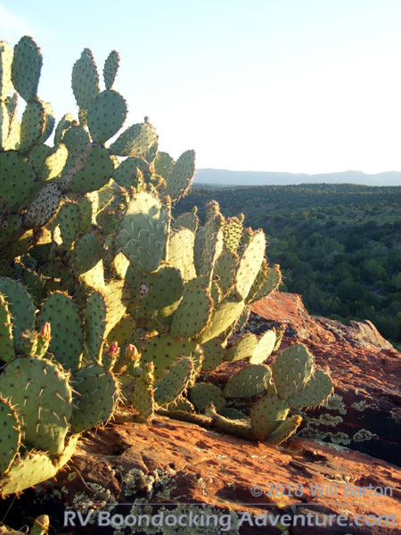 A prickly pear cactus growing on the edge of Red Tank Draw Canyon. Picture taken southwest of the intersection of FR-618 and FR-121.